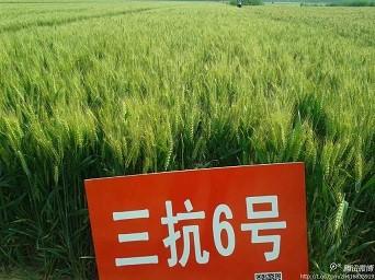 三抗6号高抗赤霉病小麦