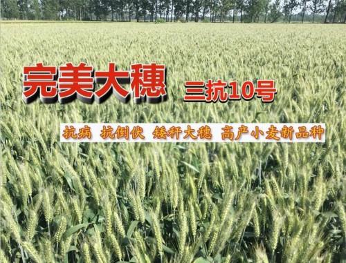 三抗10号高抗赤霉病小麦新品种