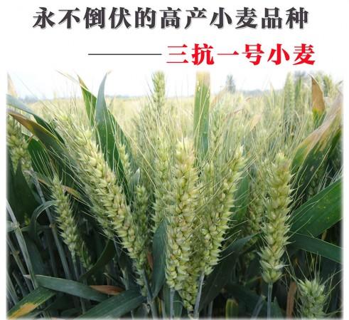 2015抗倒伏小麦种子品种-三抗1号