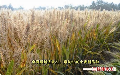 全面超越济麦22,、矮抗58的小麦品种——矮优王
