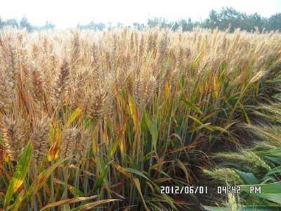 全面超越济麦22与矮抗58的-矮优王小麦