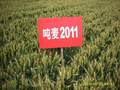 小麦种子——超高产吨麦2011