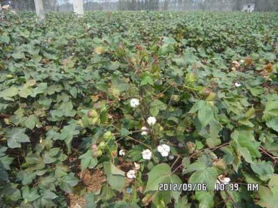 高产稳产棉花品种华农16号