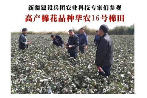 新疆早熟高产棉种——华农16号