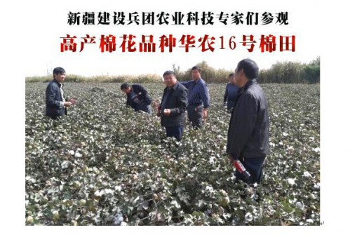 早熟高产棉花品种华农16号