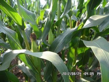 高产稳产玉米种