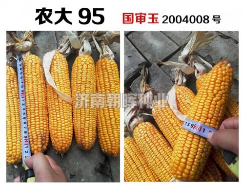 抗病抗倒、高产稳产玉米种子——永誉农大95