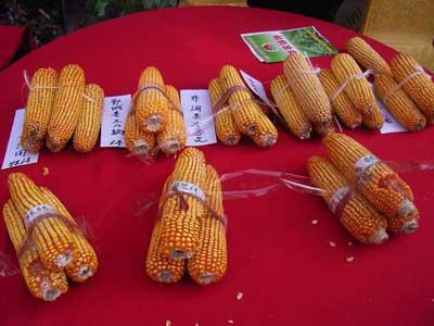麦茬早熟高产玉米种天塔5号