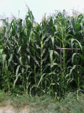 青贮玉米种子高产品种桑草青贮1号