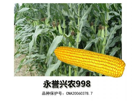 轴细粒深玉米种——永誉兴农998
